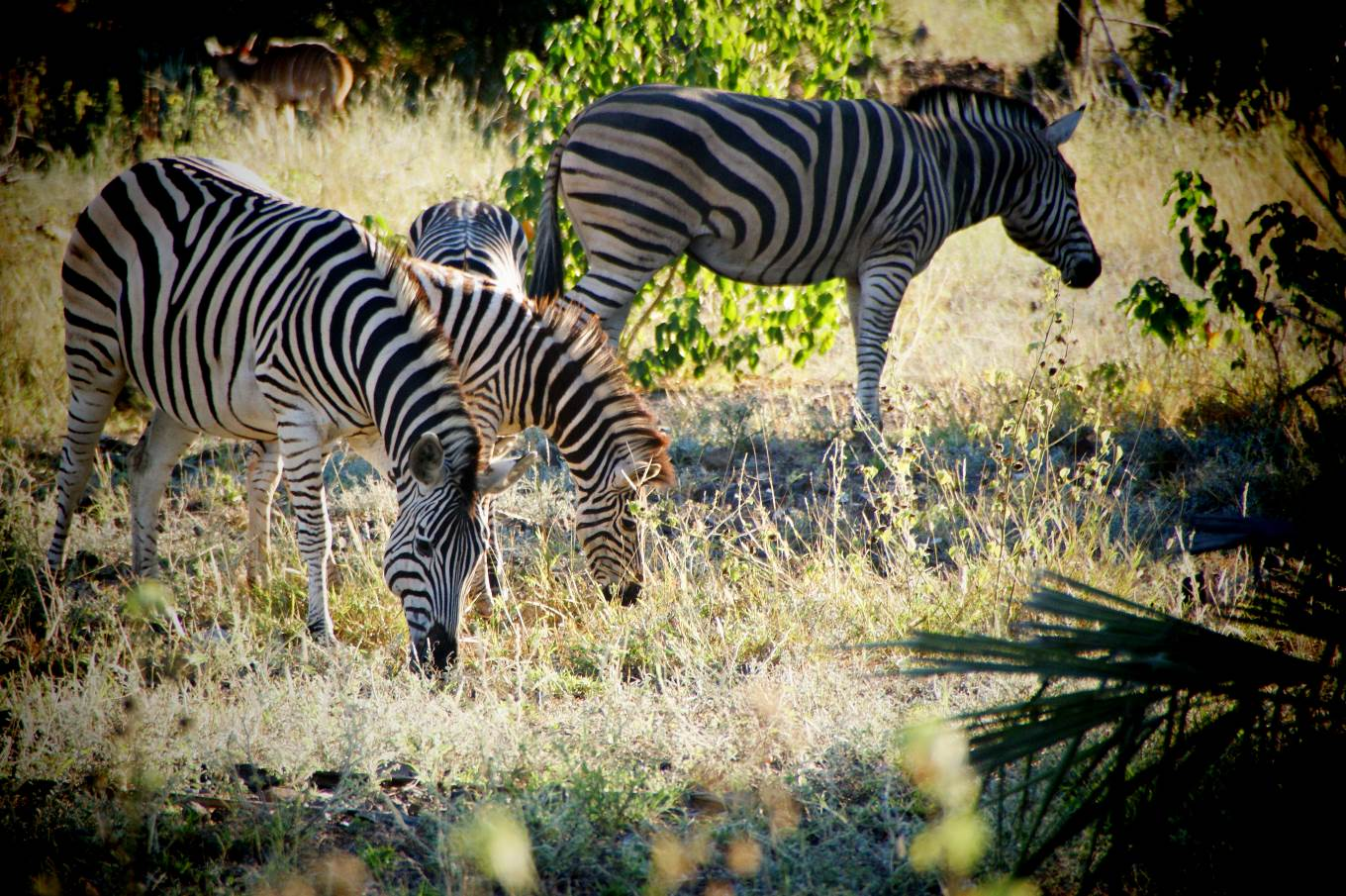 Game Drives through the Eastern Cape Game Parks in South Africa, Zebra sightings