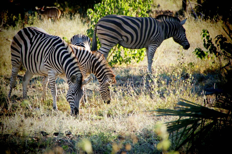 Zebras, Eastern Cape Game Parks, Südafrika