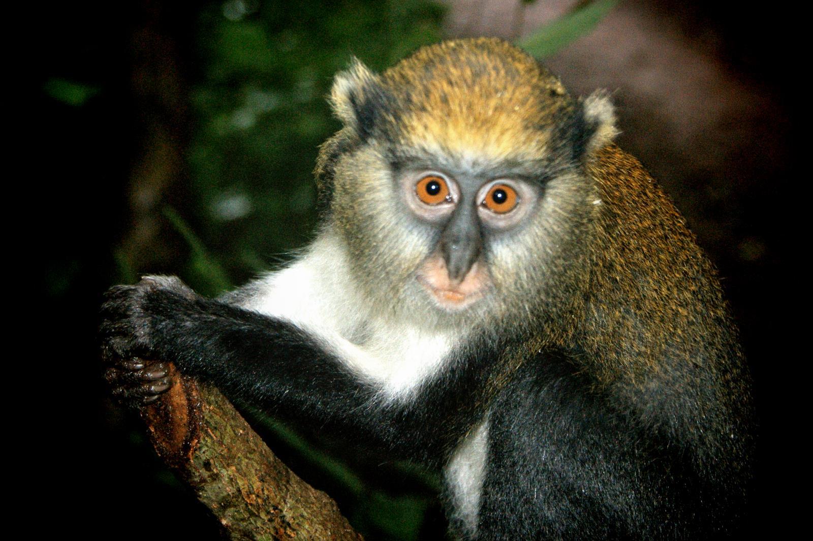 Primate Tracking at Kibale Forest in Uganda