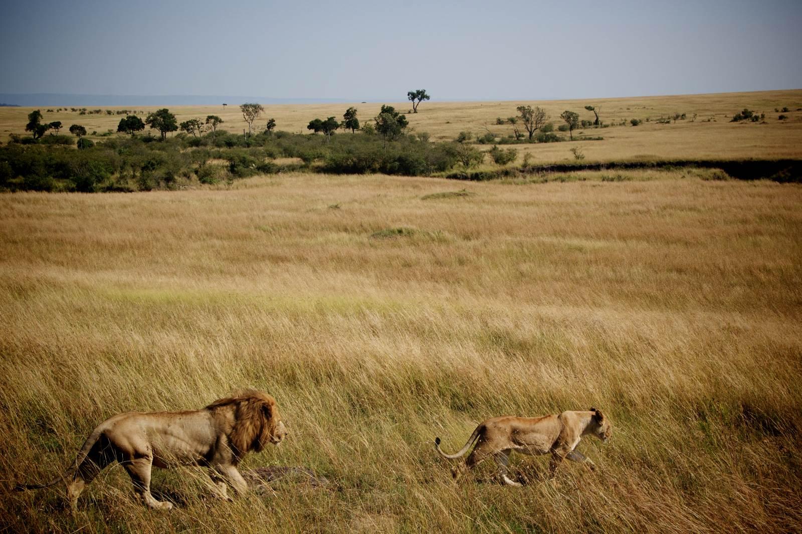 Safari durch die Masai Mara in Kenia, Afrika mit Löwen Begegnungen