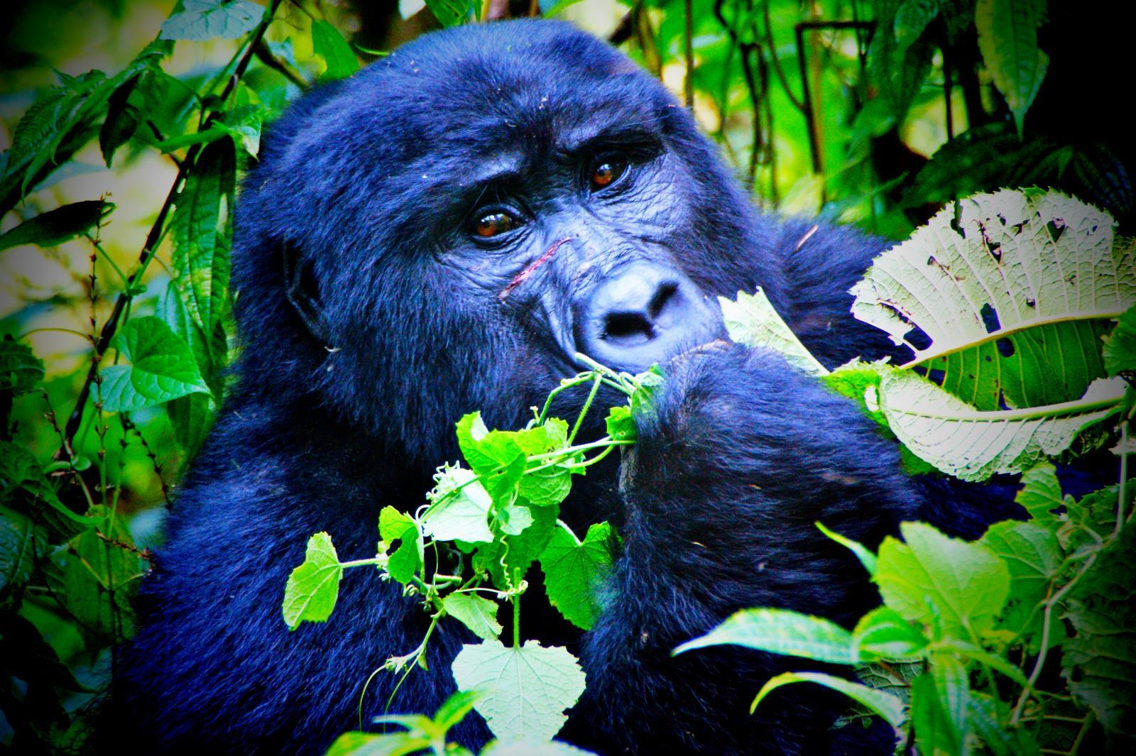 Gorilla Trekking im Bwindi Nationalpark in Uganda