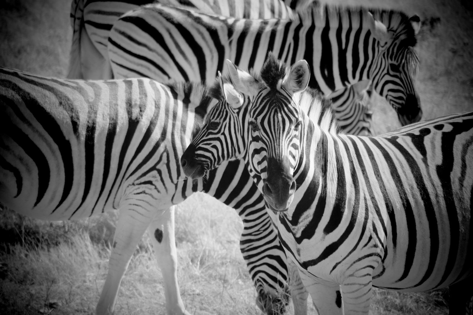 Zebras im Etosha Nationalpark, Namibia