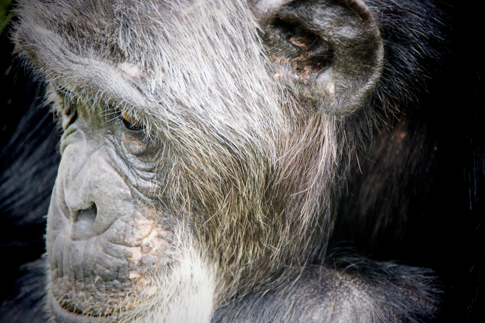Schimpansen Trekking im Kibale Forest, Uganda
