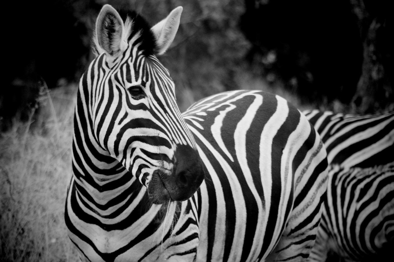 Zebra in Karoo South Africa