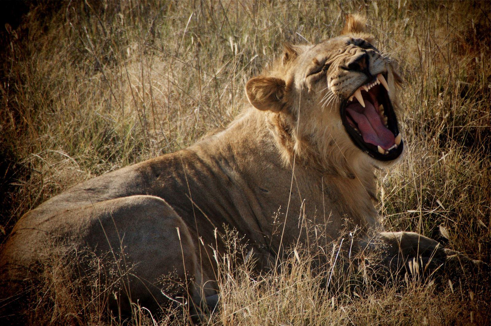 Safari and Lion Encounter at Etosha National Park, Namibia