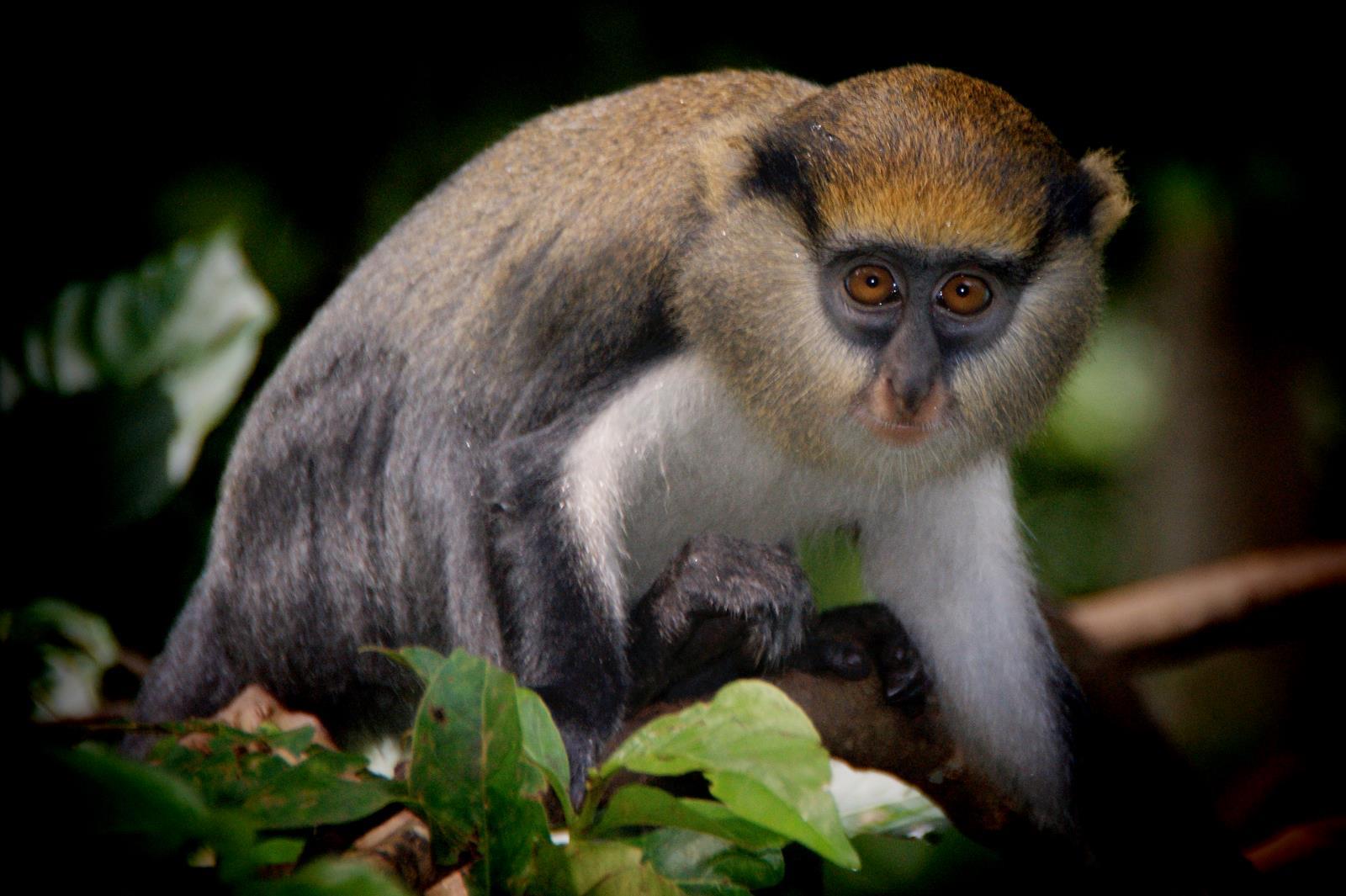 Primaten Trekking im Kibale Forest, Uganda