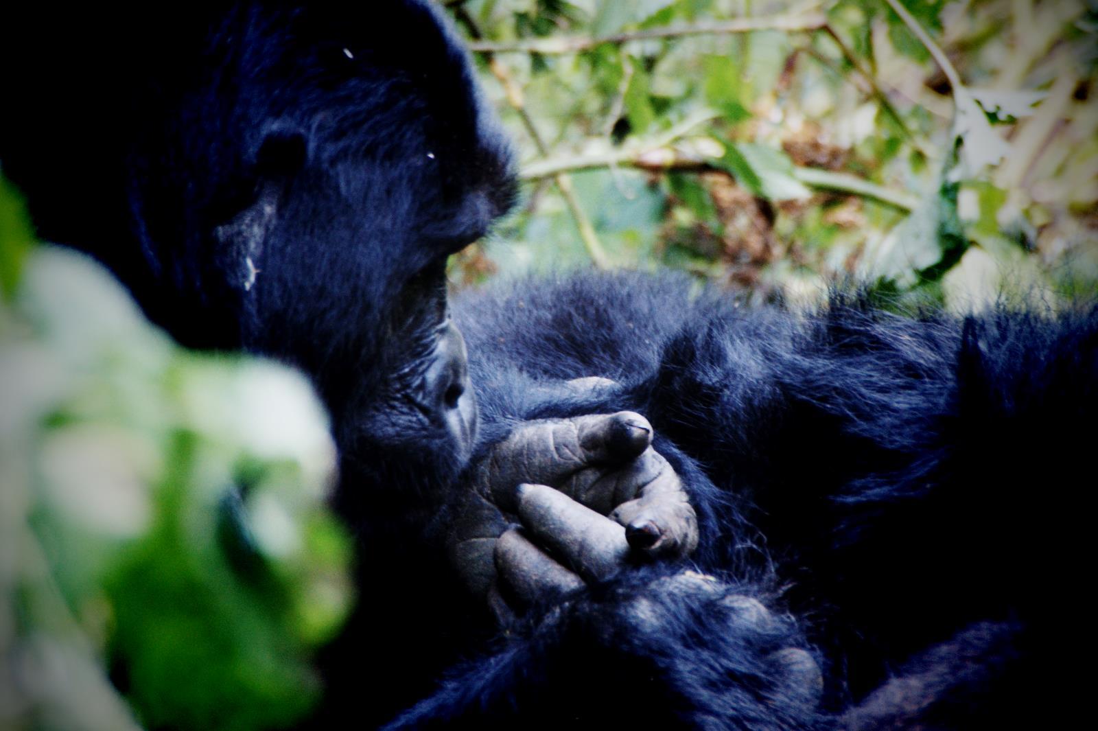Gorilla Trekking im Bwindi Nationalpark, Uganda