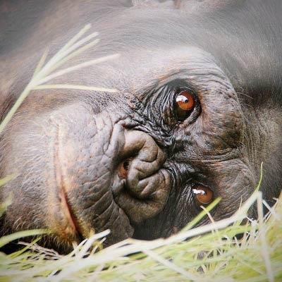 Schimpansen Trekking in Mahale, Tansania