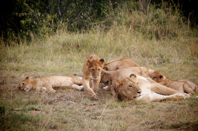 Lion Family in the Masai Mara, Kenya