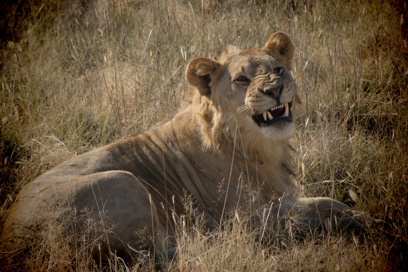 Safari and Lion Encounter at Etosha National Park, Namibia