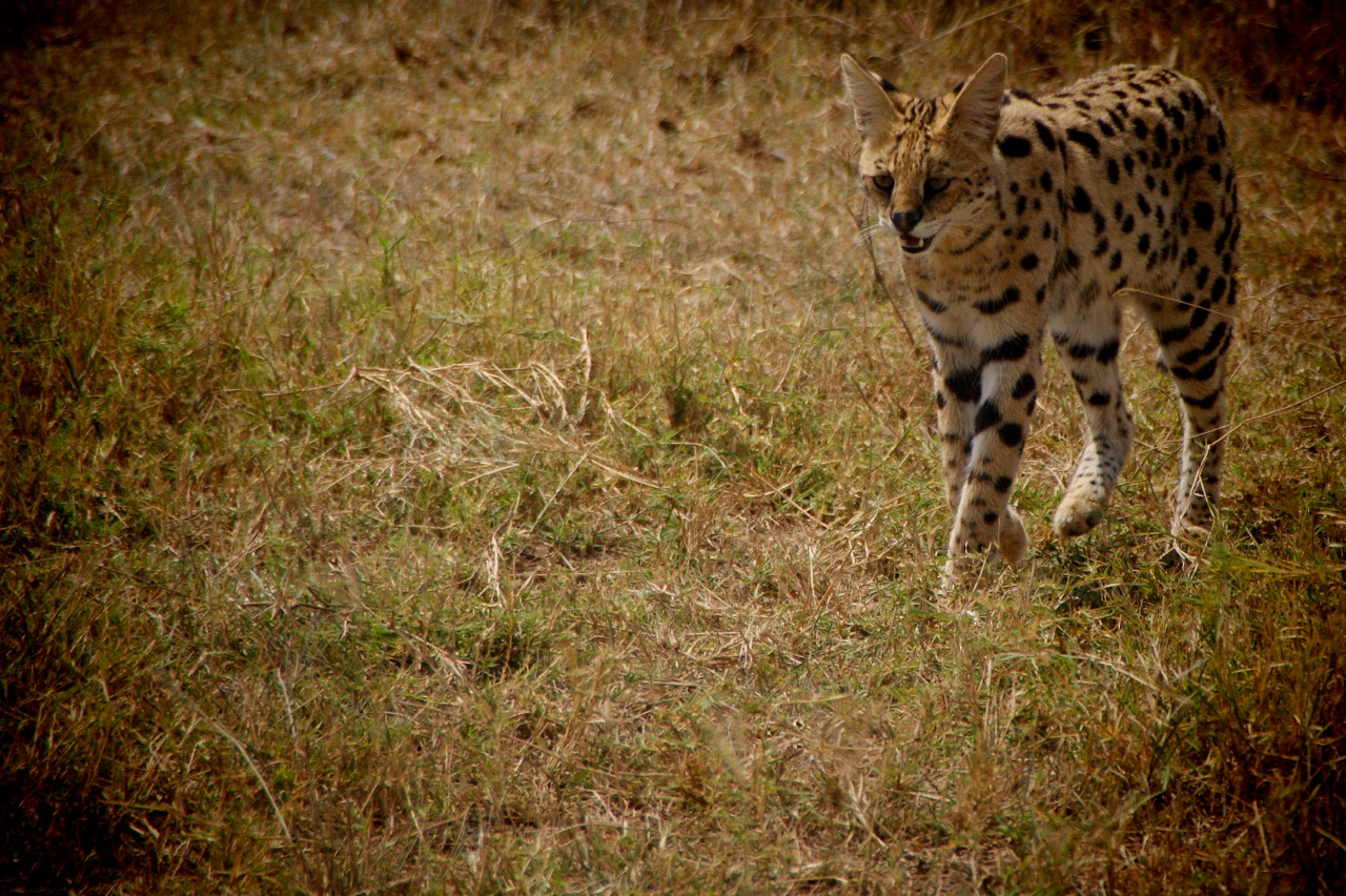 Serval Cat in the Serengeti, Tanzania