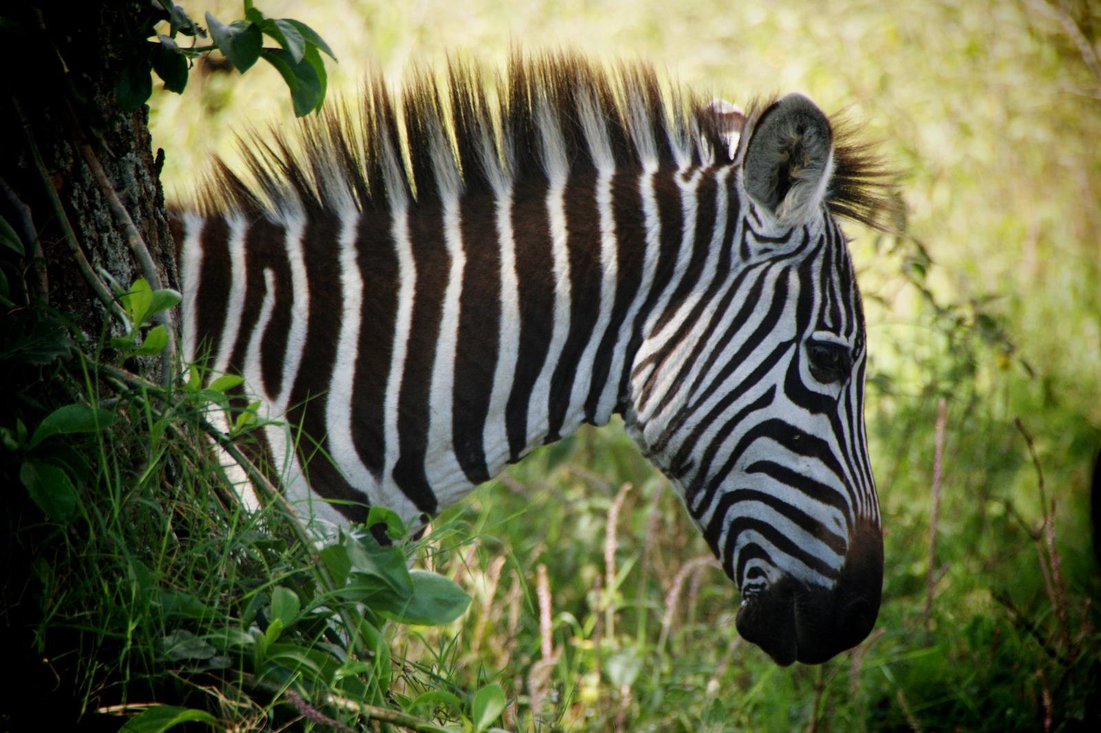 Zebra Encounter during Safari in Majete, Mozambique