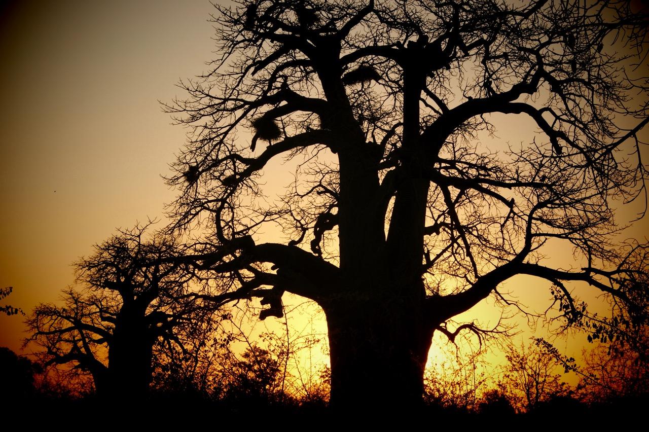 Baobabs in the sunset at Makgadikgadi Salt Pans, Botswana