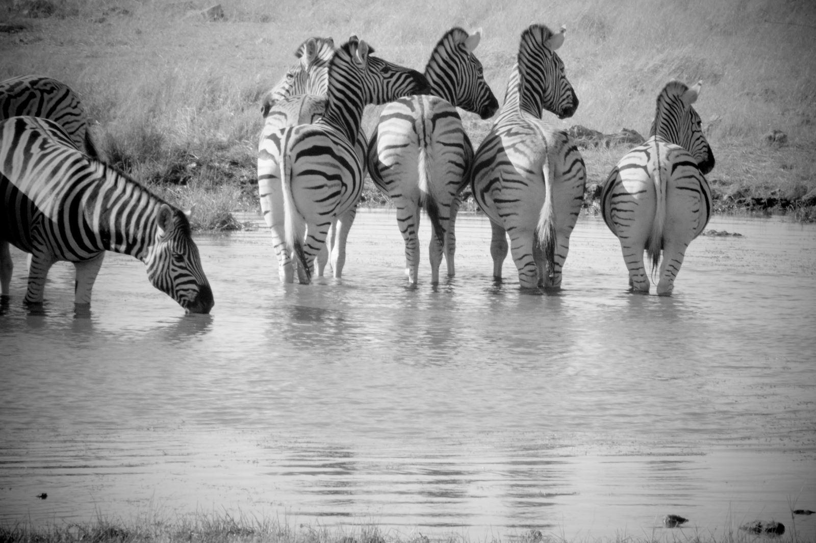 Namibia, Waterhole, Etosha National Park, Safari, Zebra