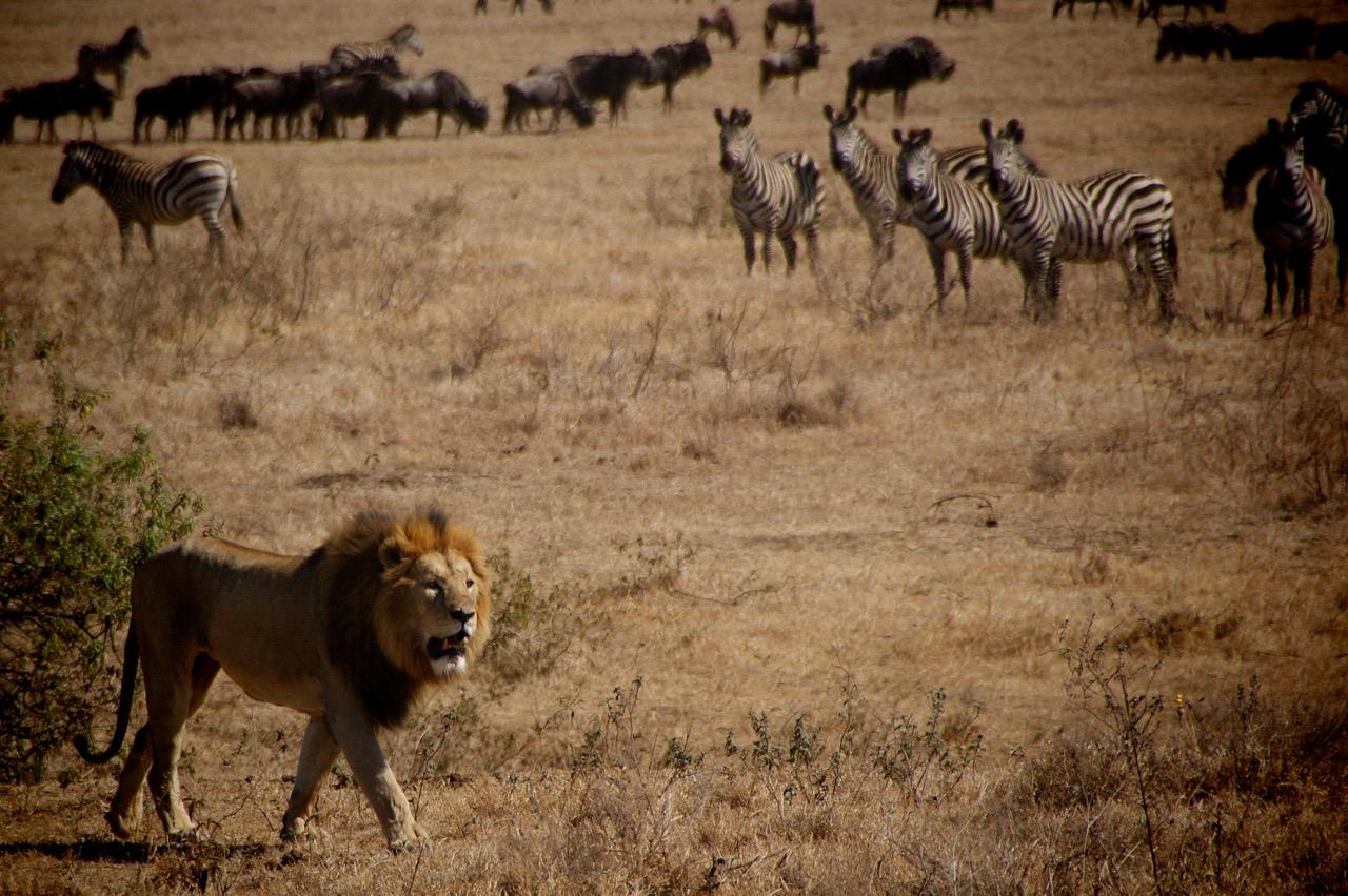 Safari und Löwe im Ngorongoro Krater, Tansania