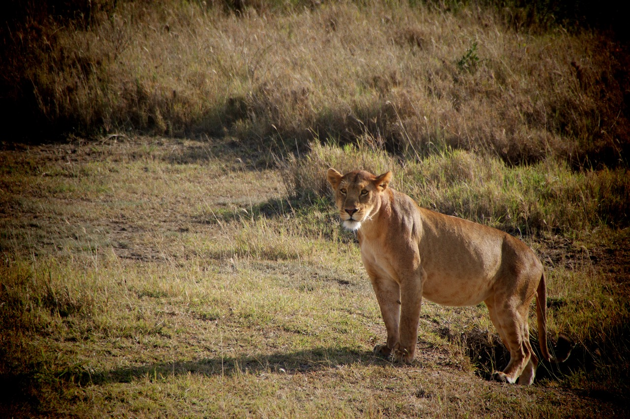 Safari and Lion in the Ngorongoro Crater, Tanzania