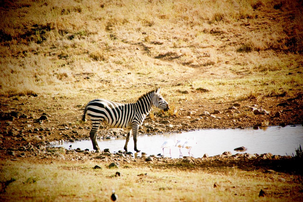 Safari und Zebras im Hwange Nationalpark, Simbabwe