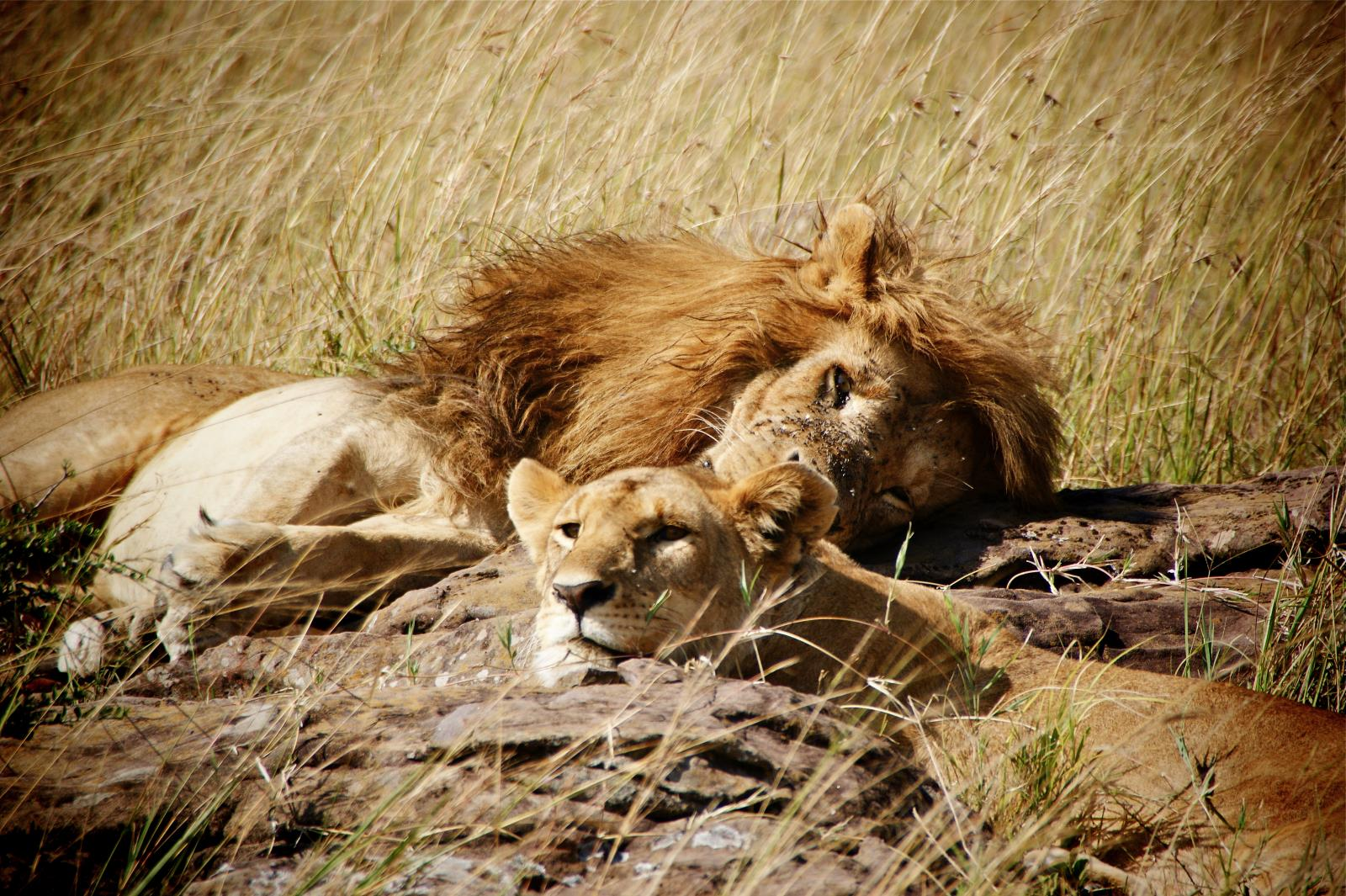 Safari and Lion Encounters in the Masai Mara, Kenya