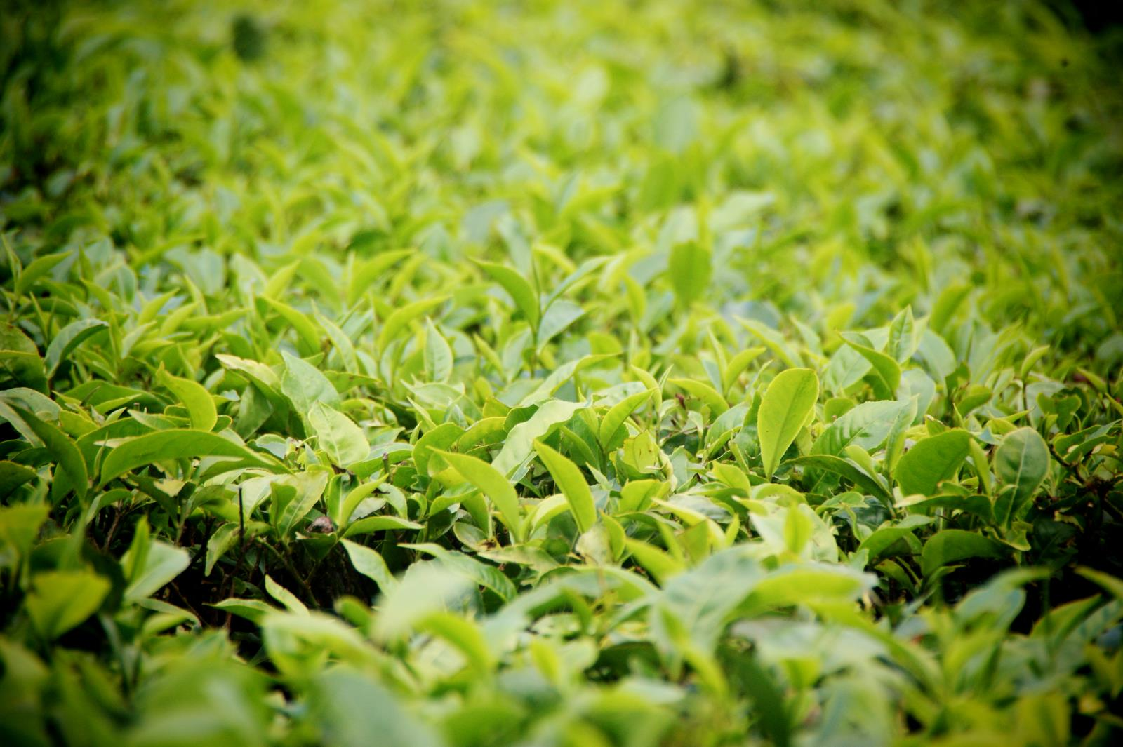 Tee leaves at Satemwa Tea Estate in Malawi