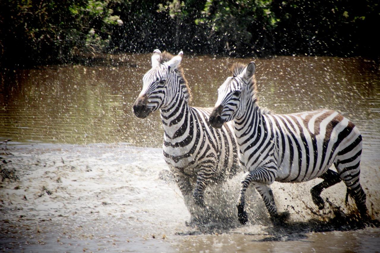 Safari und Zebras im Ngorongoro Krater, Tansania
