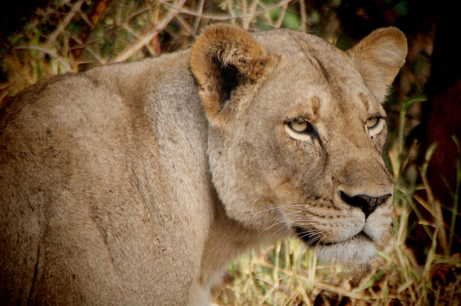 Safari at Kruger National Park in South Africa with Lion encounters
