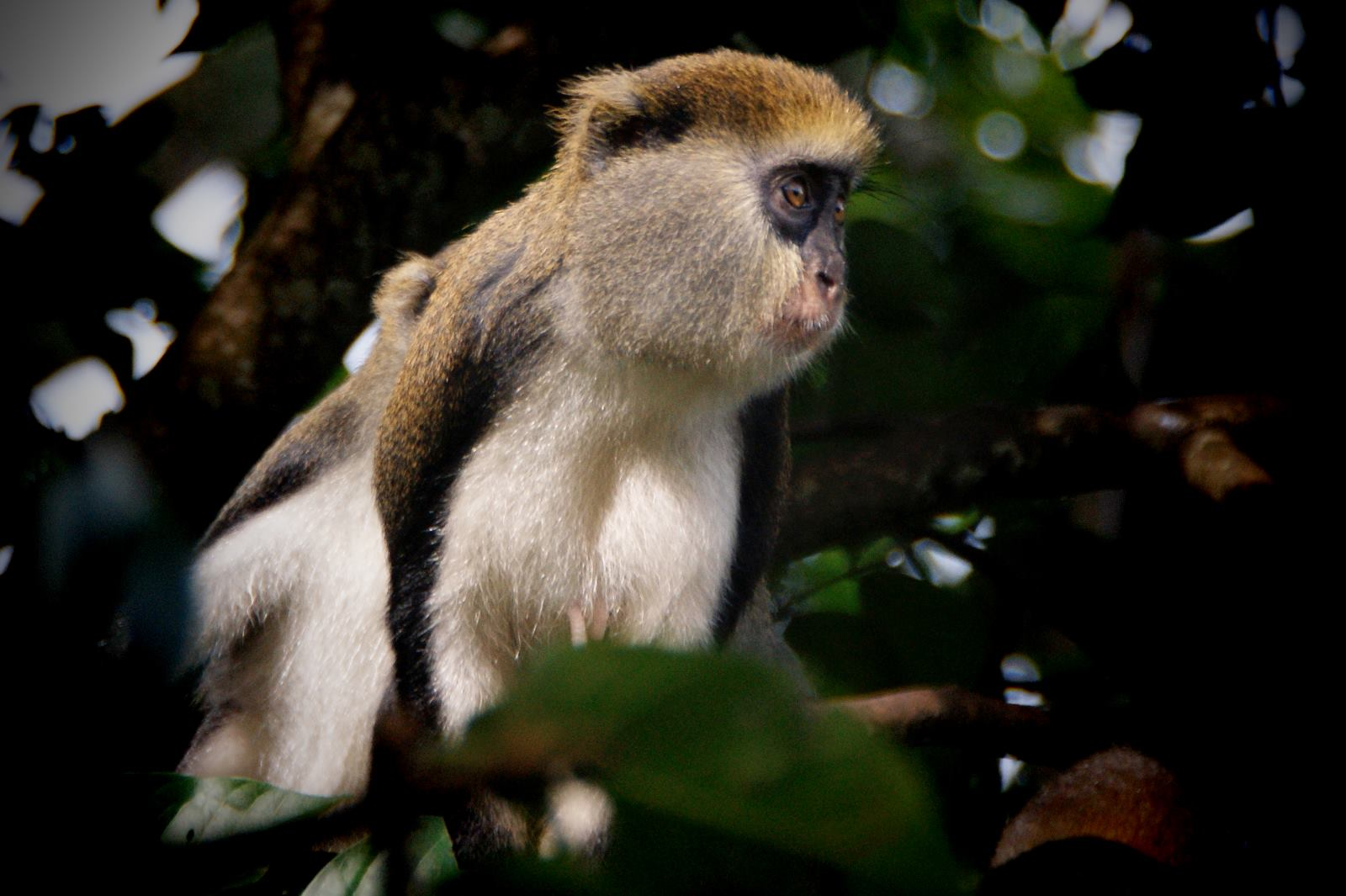 Primate Tracking at Kibale Forest in Uganda