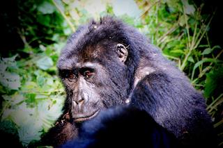Ruanda Reise zu den Gorillas