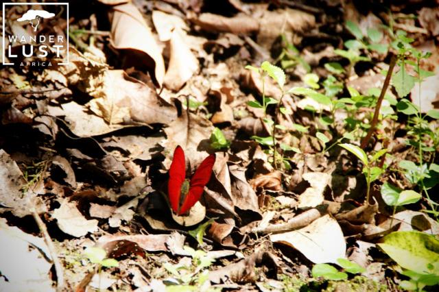 Schmetterlinge im Kakamega Forest Kenia