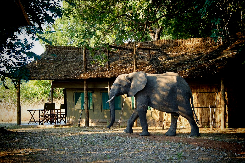 Elephanten (Elefanten) im Flatdogs Camp, South Luangwa, Sambia