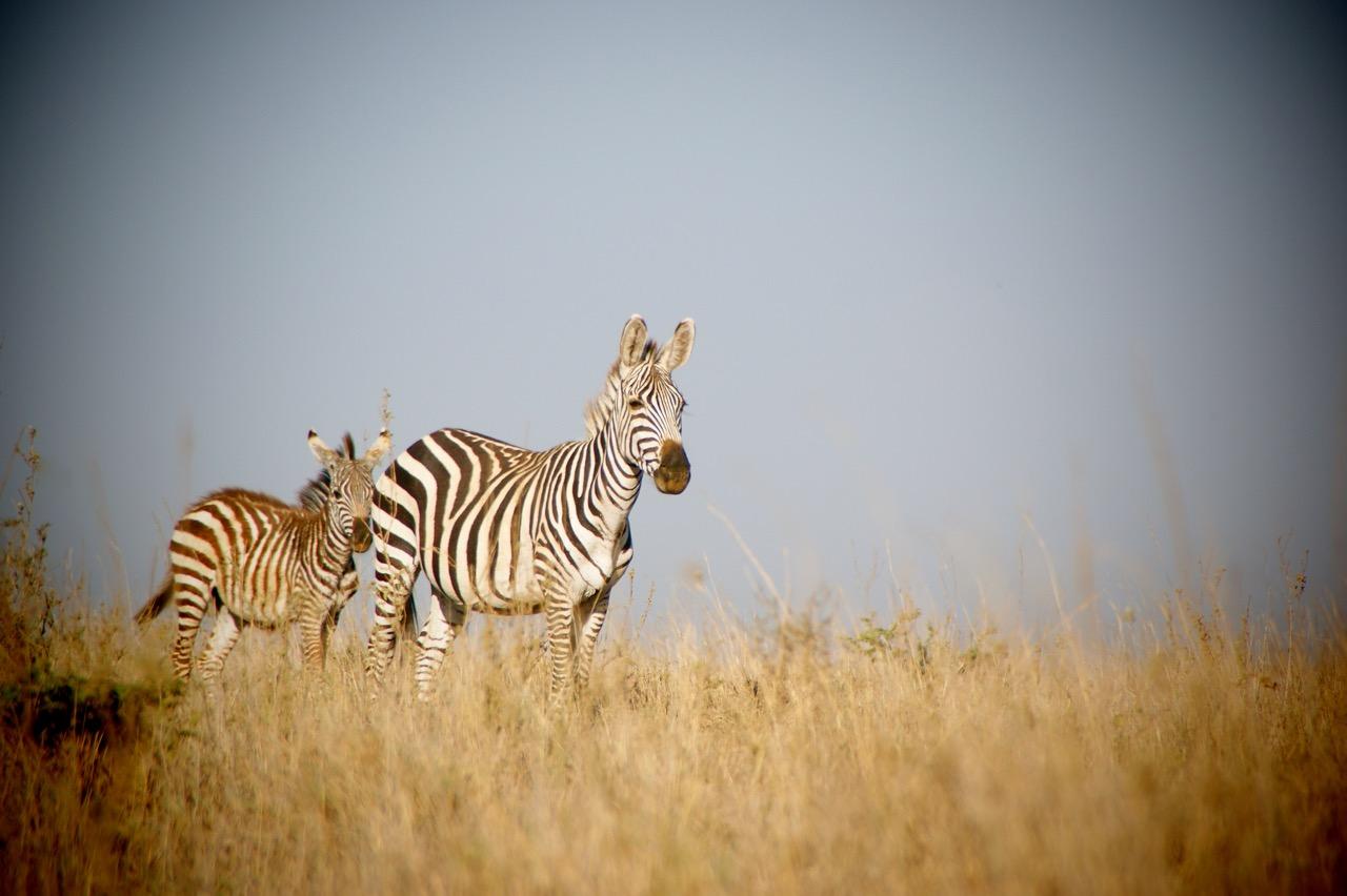 Safari and Zebra at Hwange National Park, Zimbabwe
