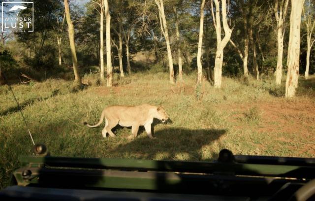 Löwe, Krüger Nationalpark Südafrika