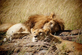 Lions in the Masai Mara in Kenya
