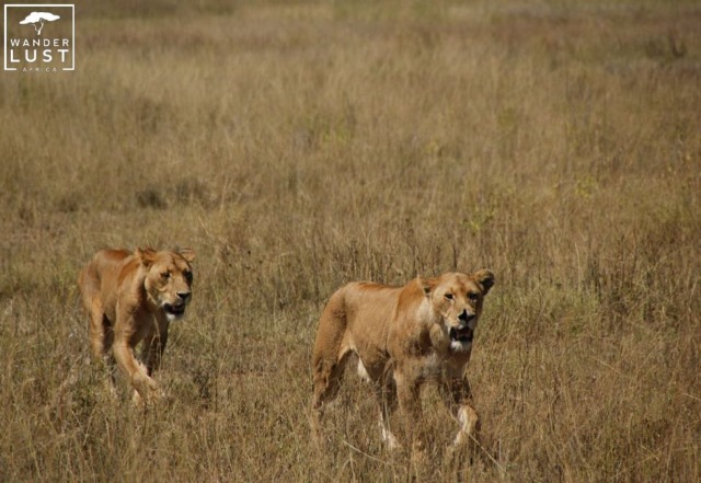 Lions in the Serengeti Tanzania