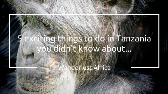 Tracking Chimps are one of the exciting things to do in Tanzania