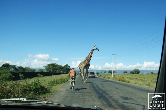 Giraffes crossing the street in Kenya