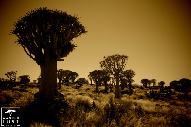 Quiver Tree Forest in Namibia in the sunset