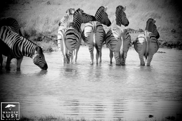 Zebras at one of the many waterholes in Etosha National Park